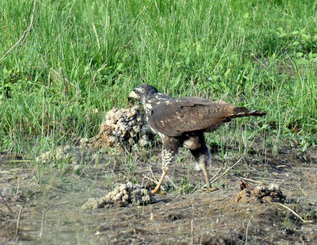 Common Black-Hawk – Juv. | Bosque del Apache | June, 2018