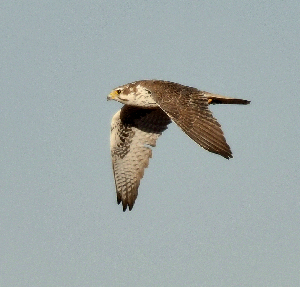 Prairie Falcon | Estancia, New Mexico | Nov. 2018