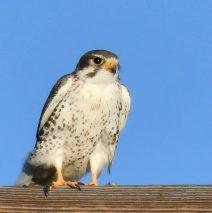Prairie Falcon   Estancia, New Mexico   Nov. 2018