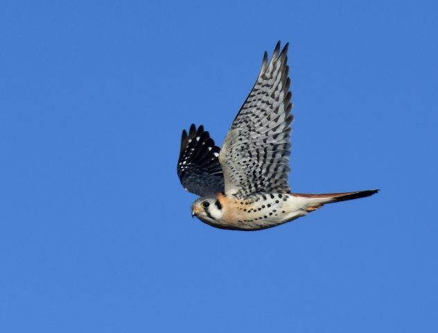American Kestrel | Estancia, New Mexico | January, 2019