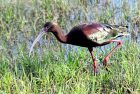 White-faced Ibis | Bosque del Apache | April, 2019
