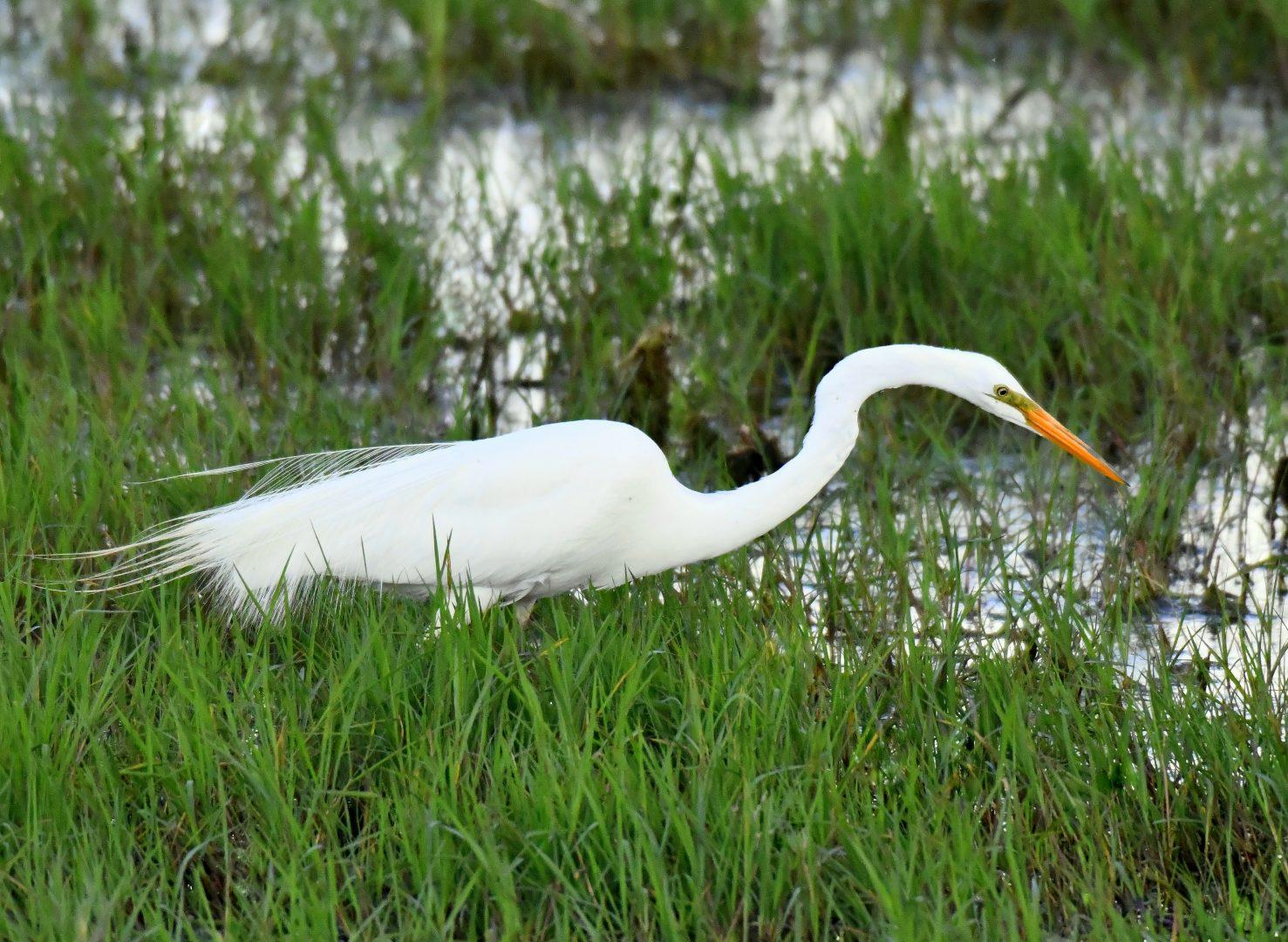 Great Egret | Bosque del Apacne | May, 2019