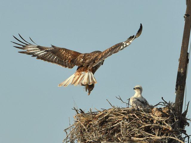 Ferruginous Hawk Nest Site   Estancia, New Mexico   June, 2019