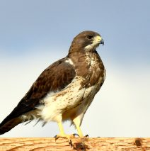 Swainson's Hawk | Estancia, New Mexico | May, 2019