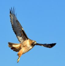 Red-tailed Hawk | Estancia, New Mexico | Feb. 2020