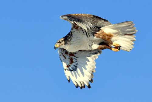 Ferruginous Hawk | Estancia, New Mexico | Feb. 2020