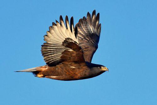 Ferruginous Hawk-Dark Morph   Estancia, N.M.  Nov. 2019