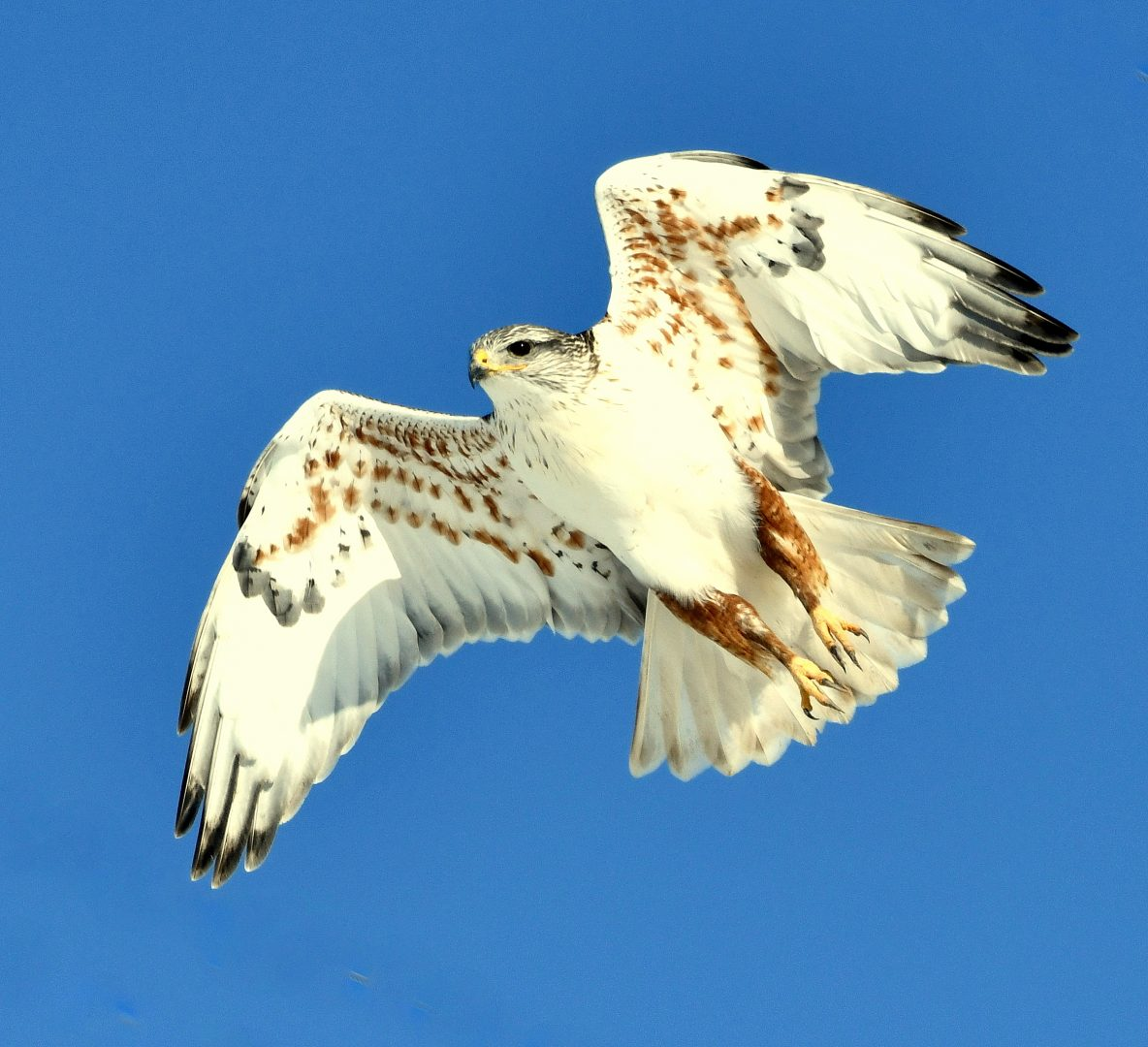 Ferruginous Hawk | Estancia , New Mexico | Feb. 2020