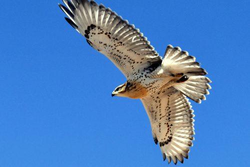 Ferruginous Hawk – Juvenile   Estancia, N.M.   June, 2020
