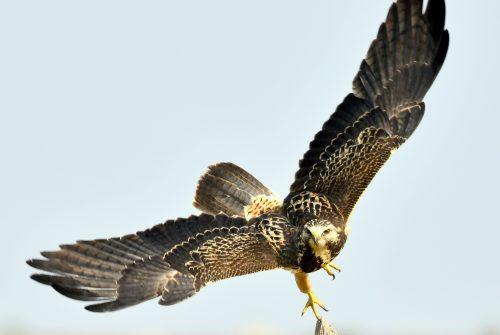 Swainson's Hawk   Estancia, New Mexico   Sept. 2020