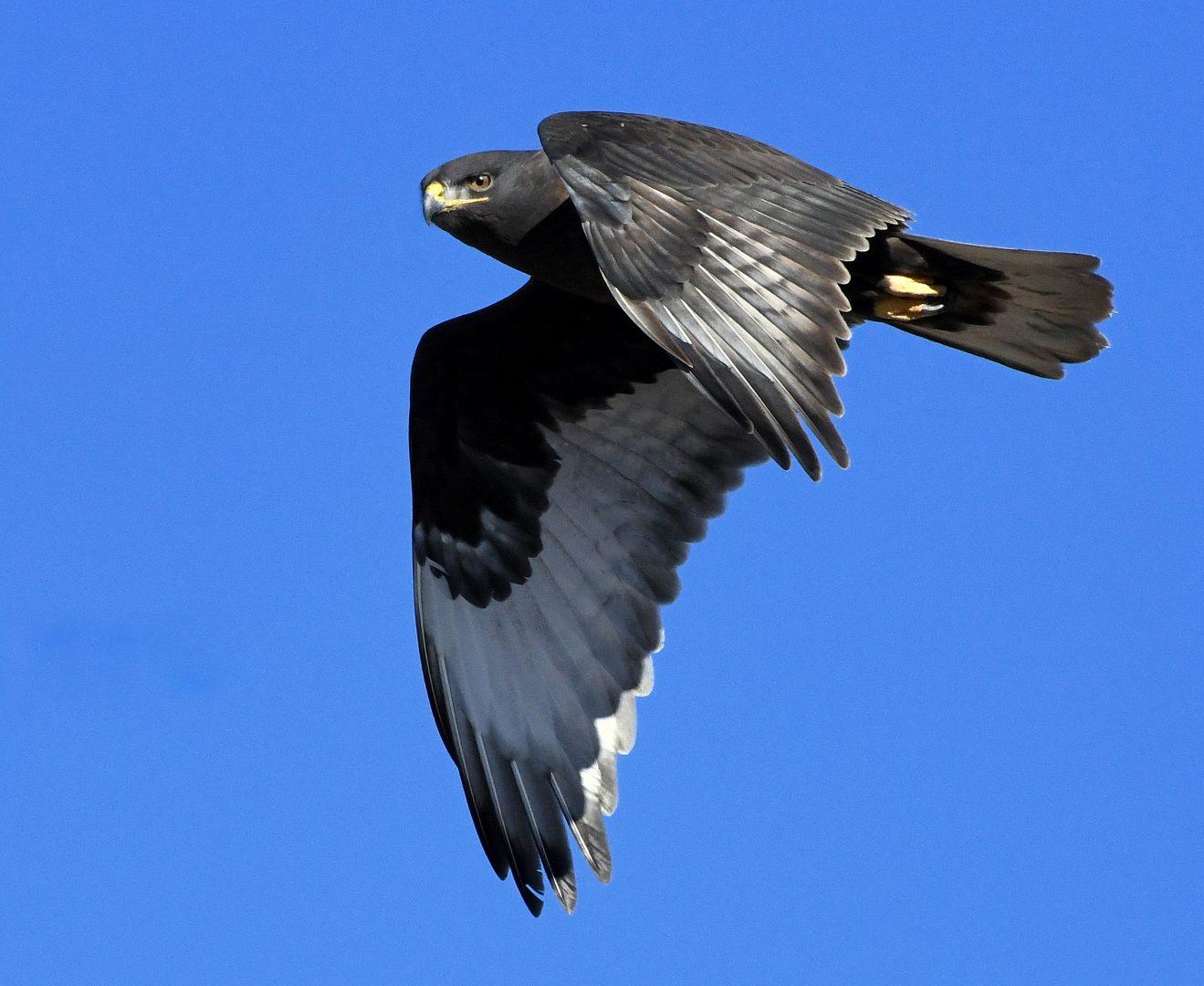 Ferruginous Hawk-Dark Morph   Estancia, N.M.  Jan. 2021