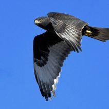 Ferruginous Hawk-Dark Morph | Estancia, N.M. |Jan. 2021