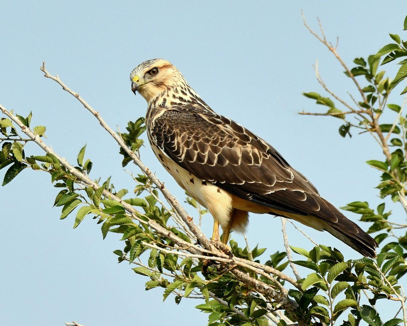 Swainson's Hawk – Juvenile | Estancia, N.M. | Sept. 2020