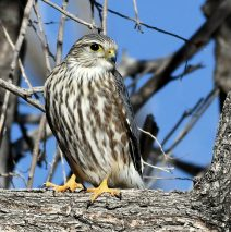 Merlin – Prairie | Estancia, N.M. | Jan. 2021