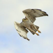 Ferruginous Hawk – Immature | Estancia, N.M. | Feb. 2021