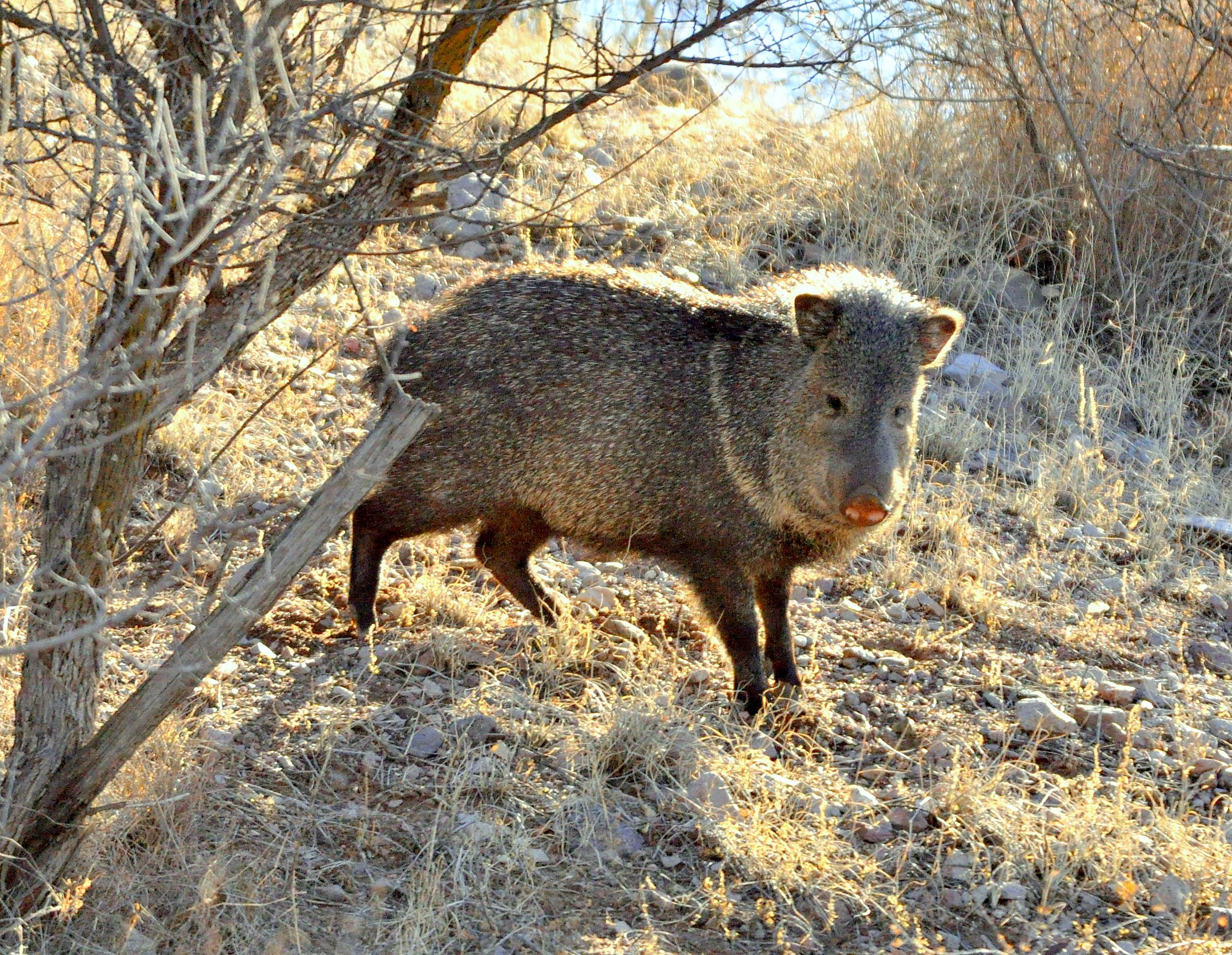 Javelina | Lordsburg, New Mexico | December, 2009