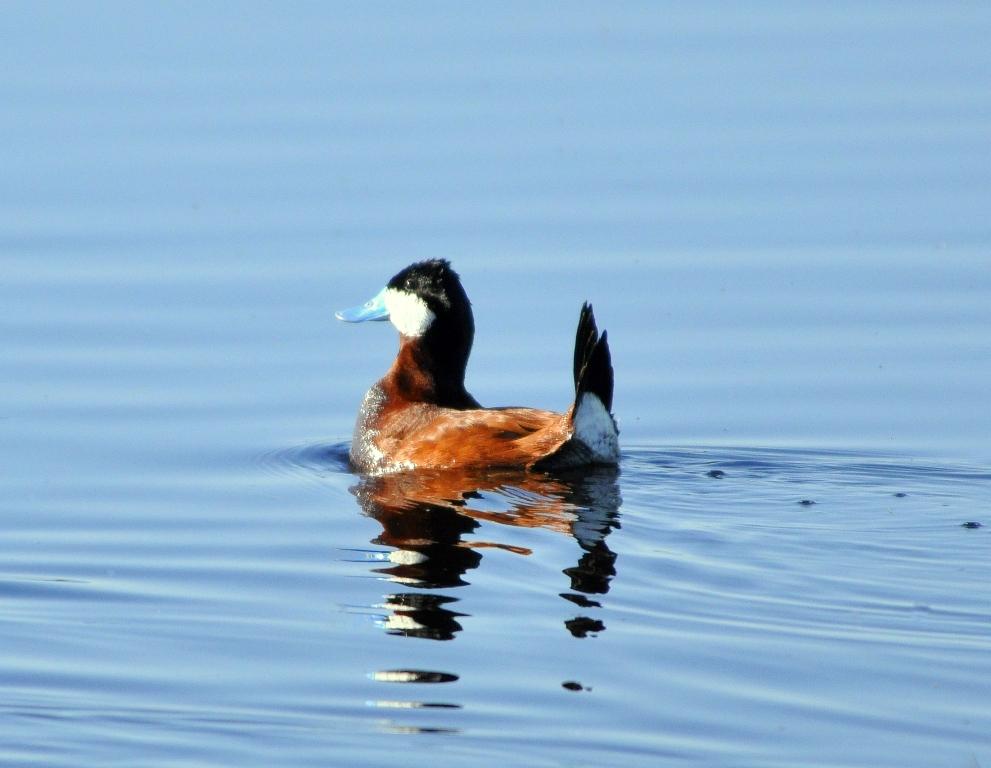 Ruddy Duck –  Male   Walden, Colorado   June, 2011
