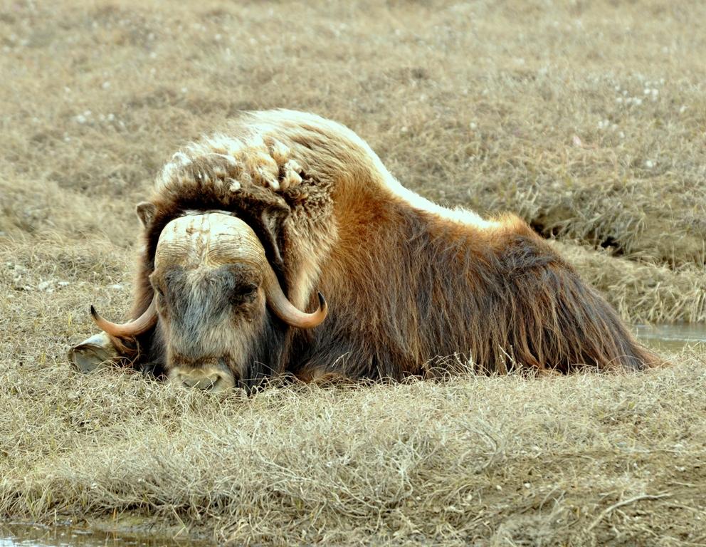 Musk Ox –  Cow | Deadhorse, Alaska | June, 2011