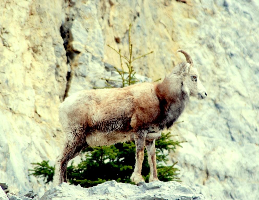 Stone Sheep –  Ewe | Fort Nelson, British Columbia | June, 2009