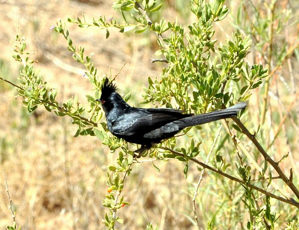Phainopepla –  Male | Bosque del Apache | June, 2010