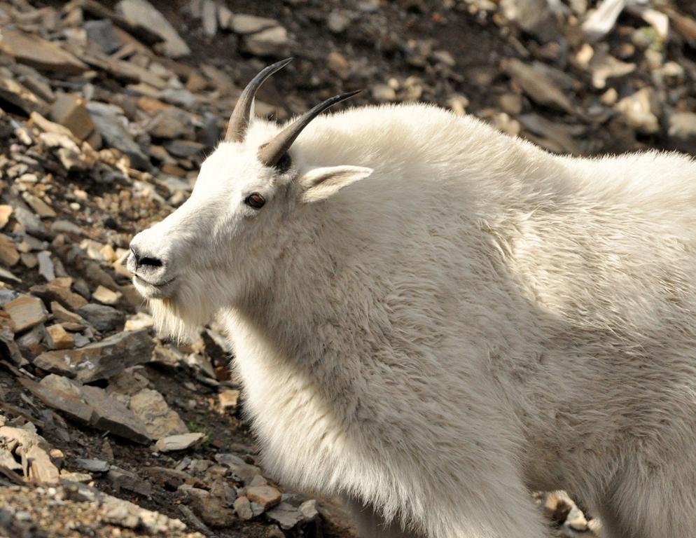 Mountain Goat   Glacier National Park   September, 2011