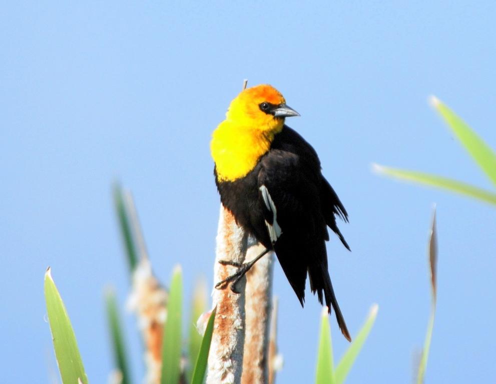 Yellow-headed Blackbird –  Male | Missoula, Montana | June, 2009