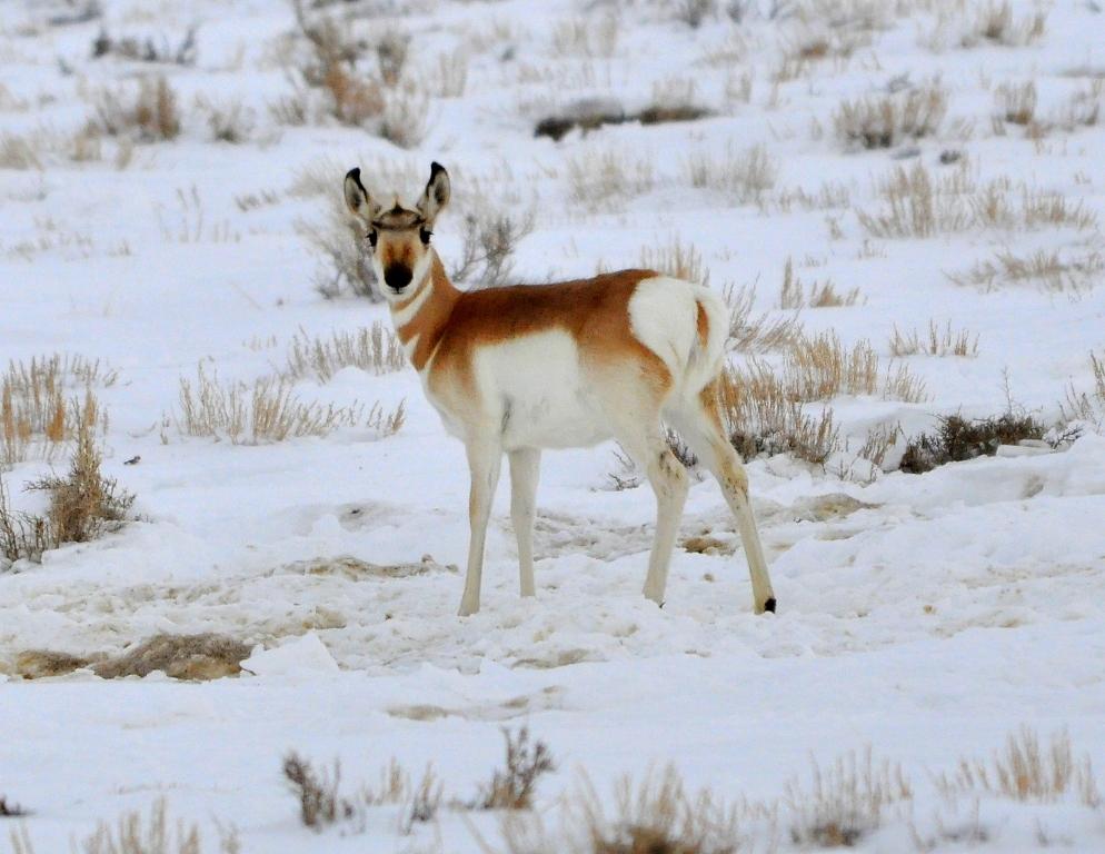 Pronghorn –  Immature | Walden, Colorado | January, 2011