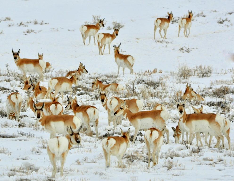 Pronghorns | Walden, Colorado | January, 2011