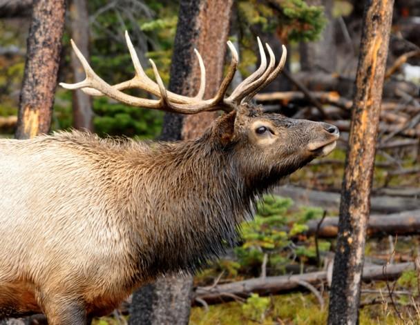 Elk – Bull   Yellowstone National Park   October, 2009