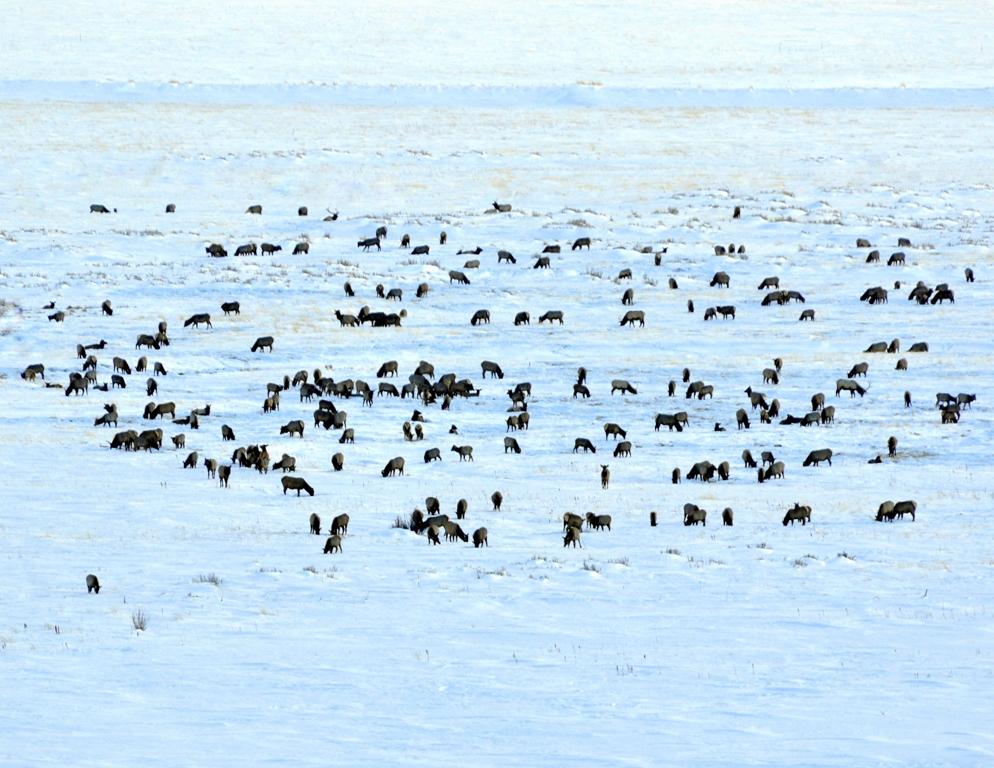 Elk | Walden, Colorado | January, 2011