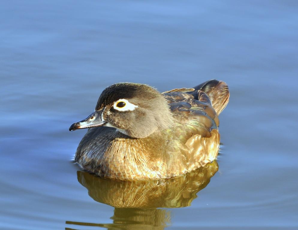 Wood Duck –  Female | Albuquerque, New Mexico | March, 2011