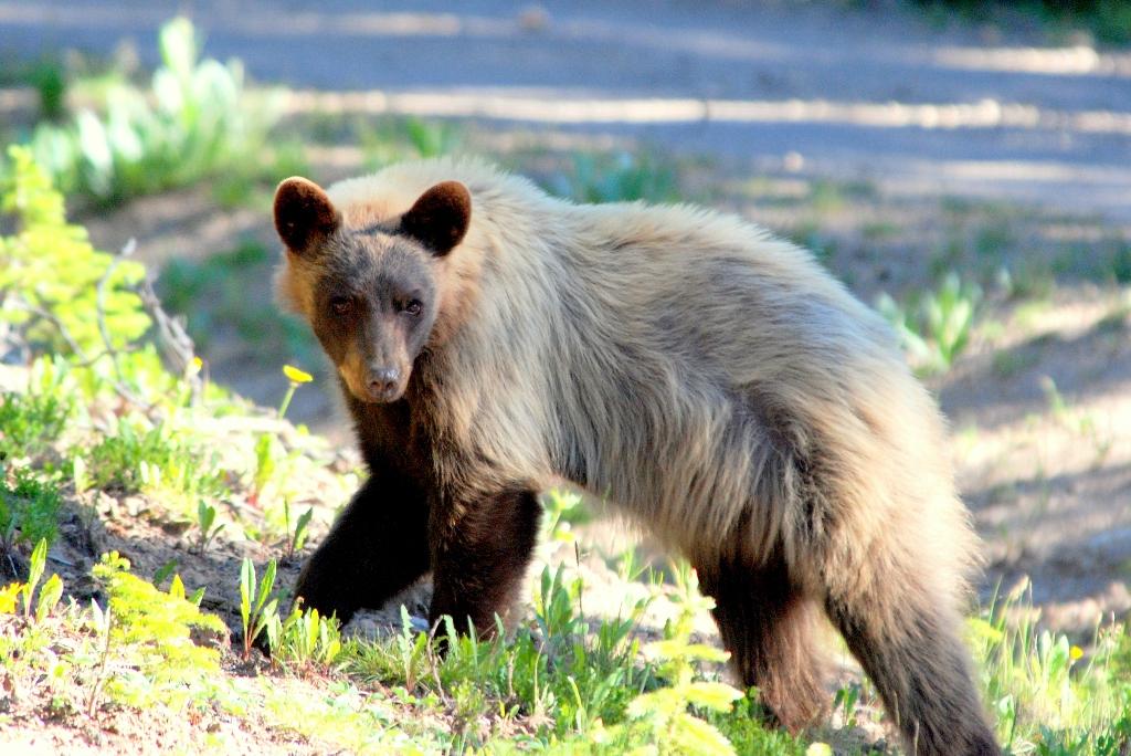 Black Bear | Southfork, Colorado | July, 2009