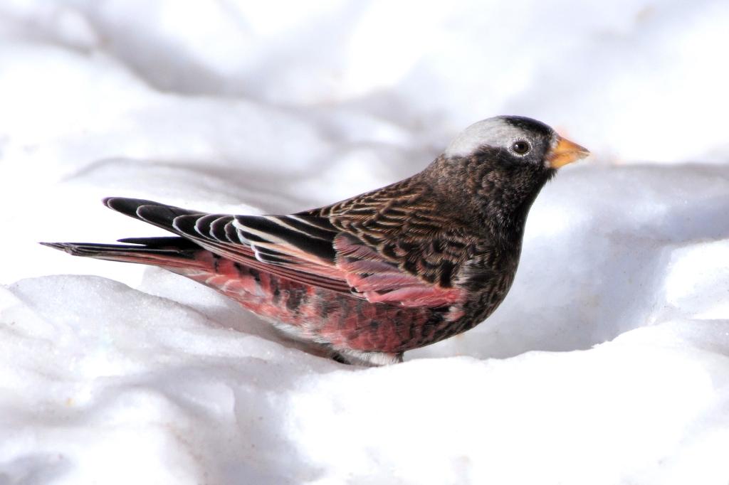 Black Rosy-Finch | Sandia Crest, New Mexico | January, 2009
