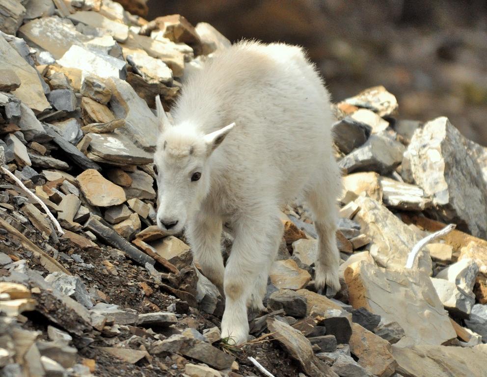 Mountain Goat –  Kid   Glacier National Park   September, 2010