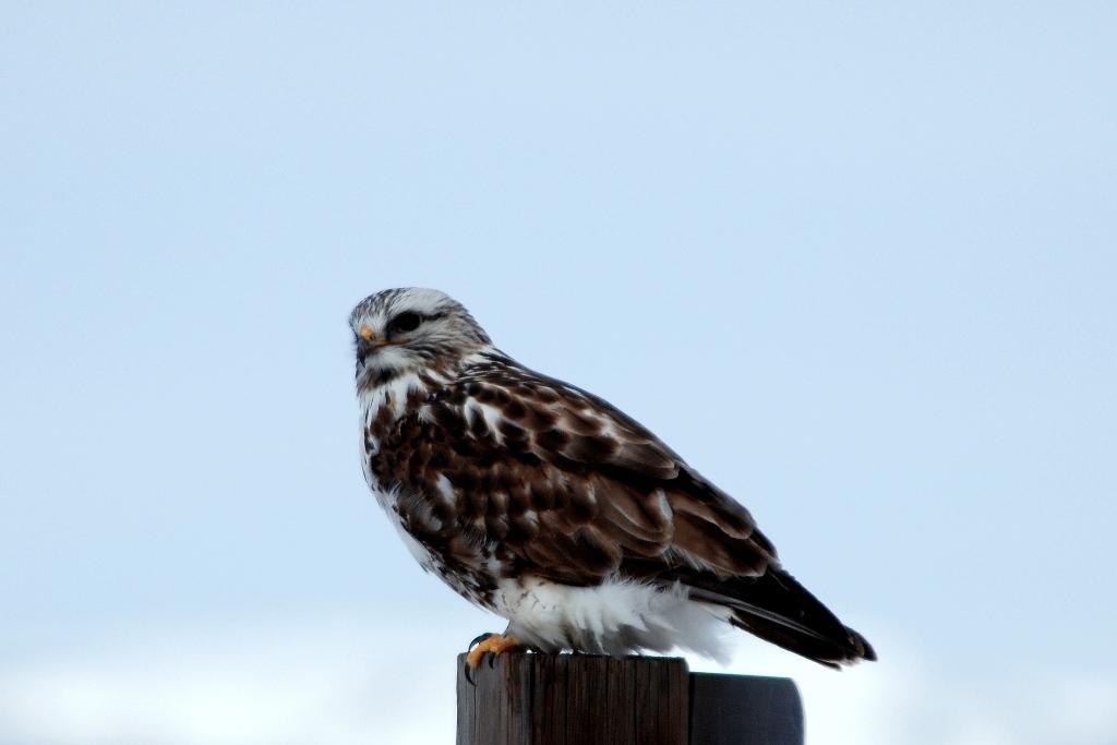 Rough-legged Hawk   Walden, Colorado   February, 2009
