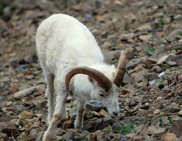 Dall Sheep –  Ram   Denali National Park   May, 2009
