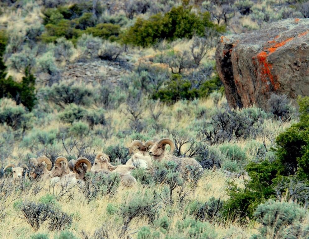 Bighorn Sheep – Rams | Cody, Wyoming | May, 2009