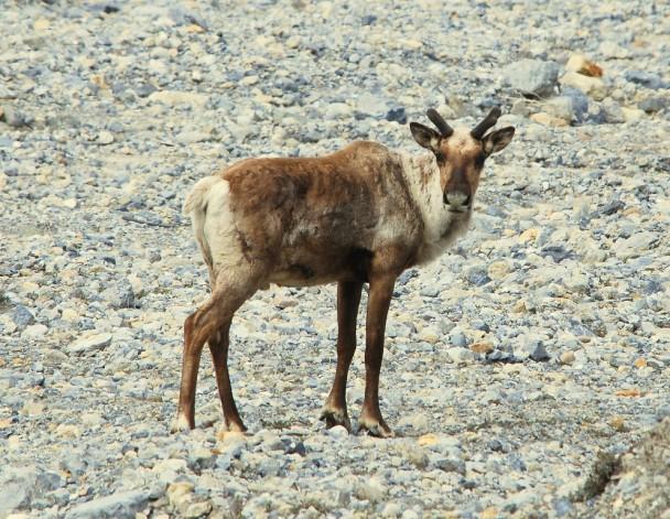 Caribou – Immature Bull |  Muncho Lake, British Columbia | May, 2009