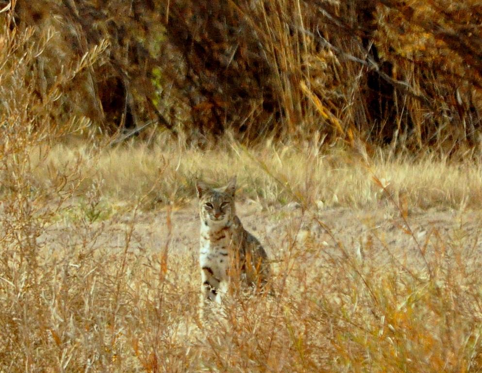 Bobcat | Bosque del Apache | November, 2009