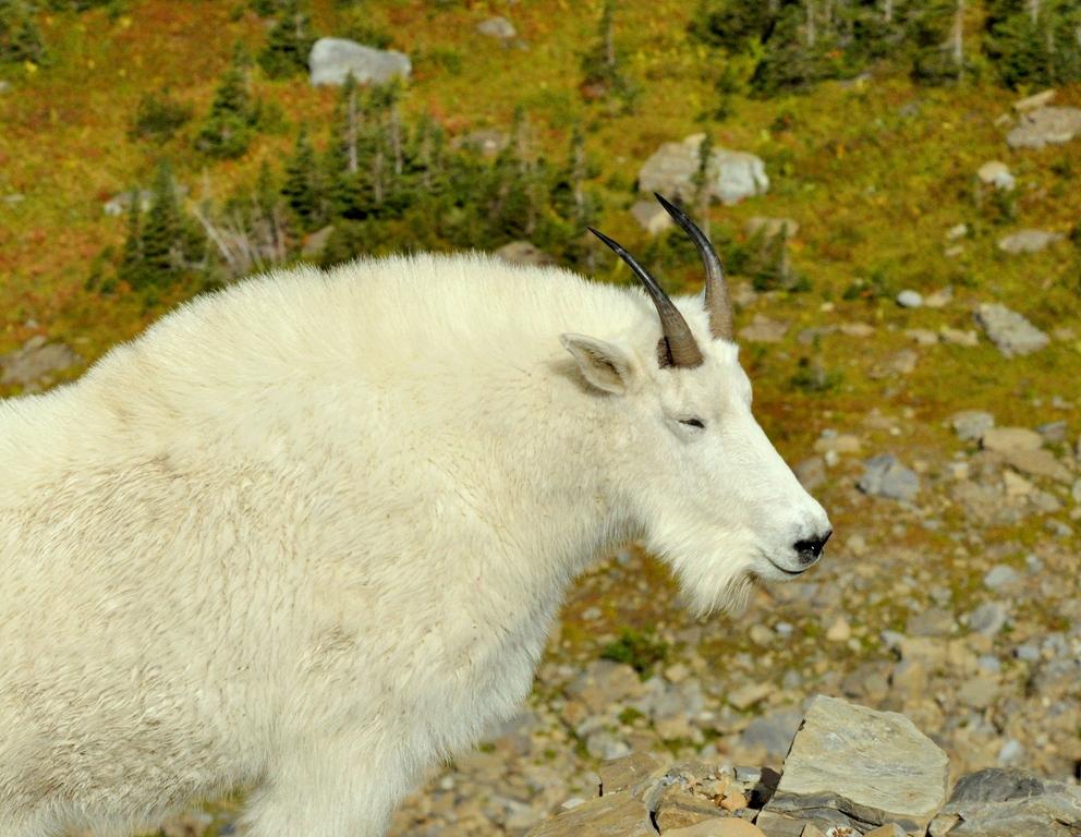 Mountain Goat   Glacier National Park   September, 2010