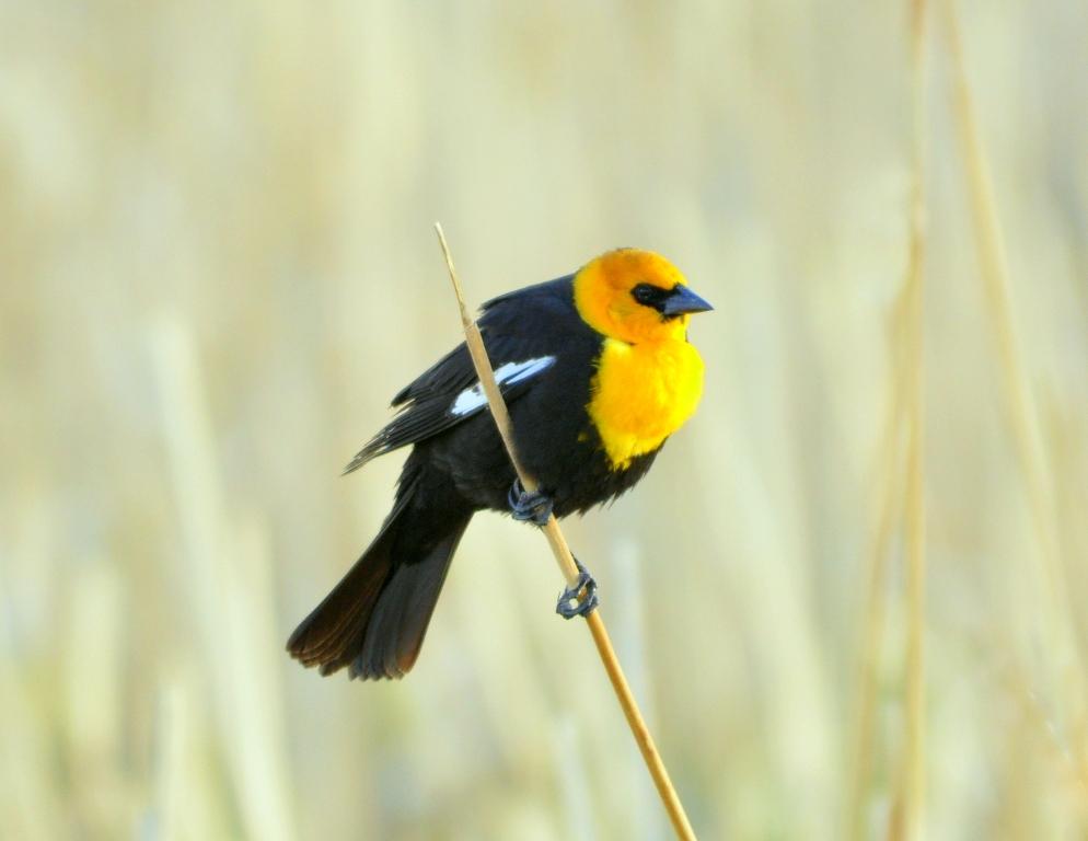 Yellow-headed Blackbird –  Male | Alamosa, Colorado | May, 2011