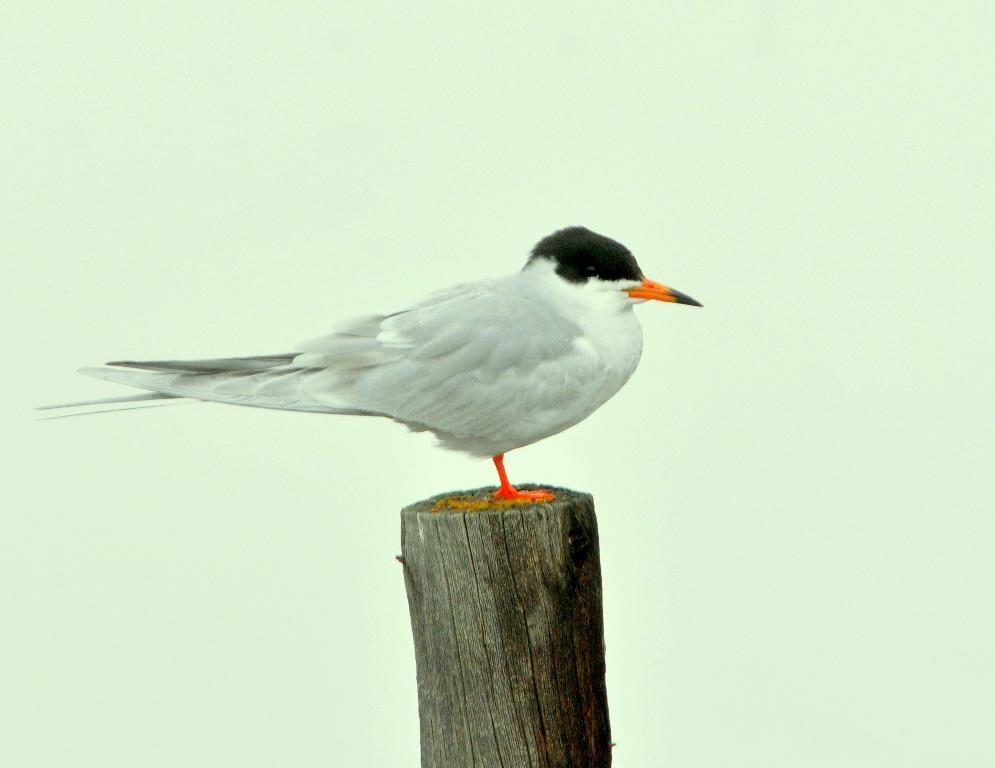 Forster's Tern | Walden, Colorado | May, 2011