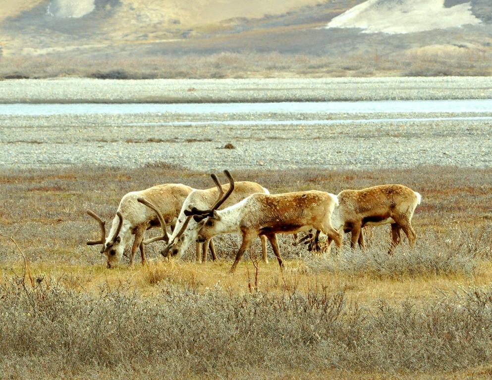 Caribou –  Bulls | Deadhorse, Alaska | June, 2011