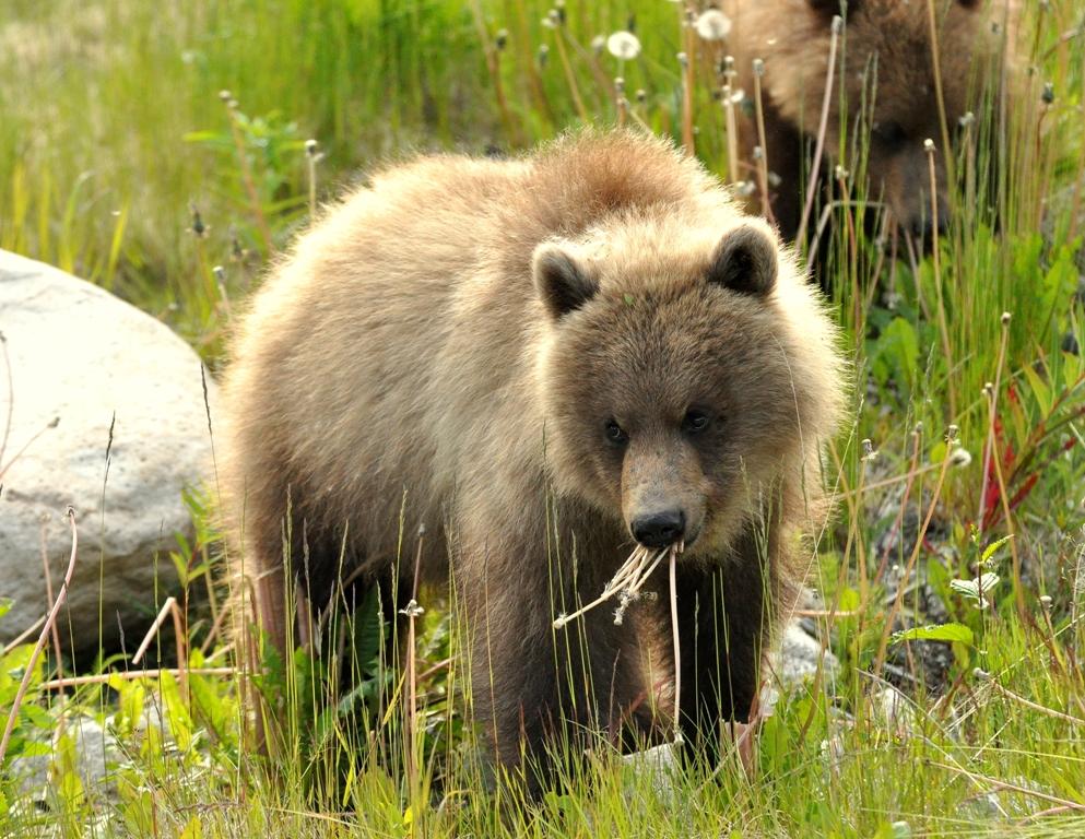 Brown Bear –  Cub | Haines, Alaska | June, 2010