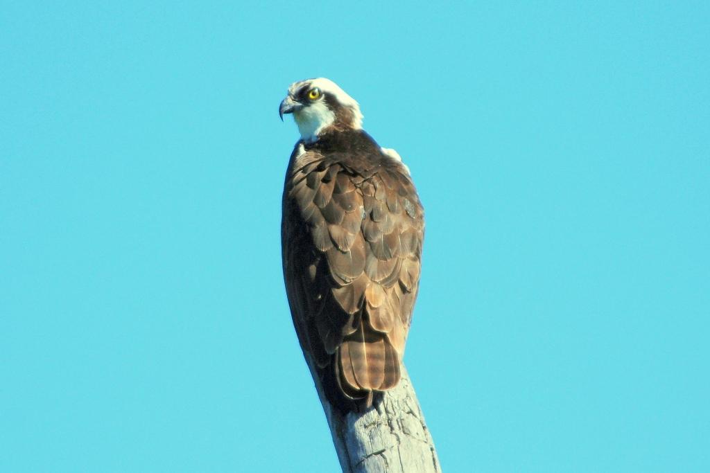 Osprey | Missoula, Montana | June, 2009