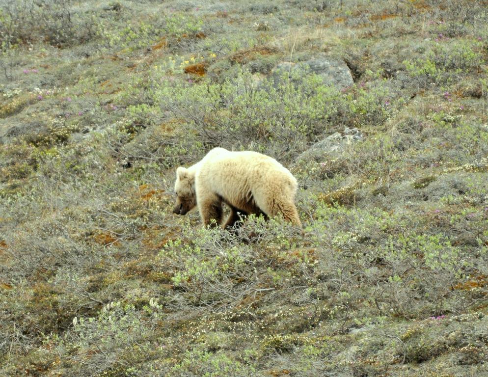 Grizzly Bear | Atigun Pass, Alaska | June, 2011