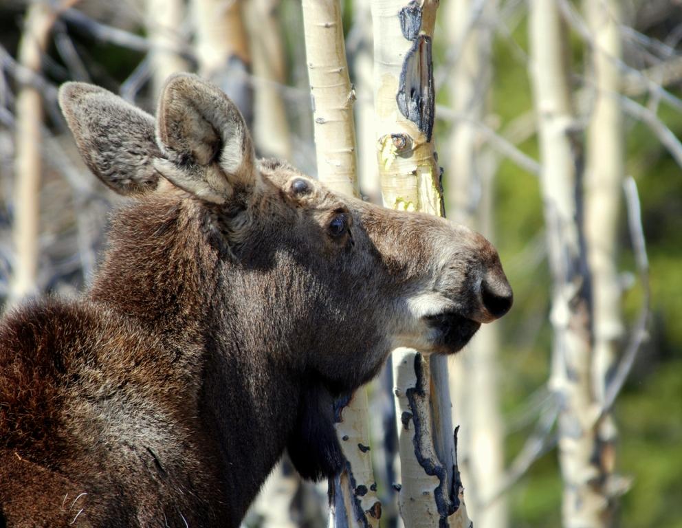 Moose – Immature Bull | Burgess Junction, Wyoming | May, 2009