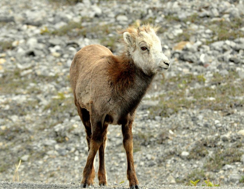 Stone Sheep – Immature | Fort Nelson, British Columbia | May, 2011