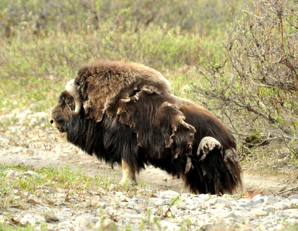 Musk Ox | Atigun Pass, Alaska | June, 2011