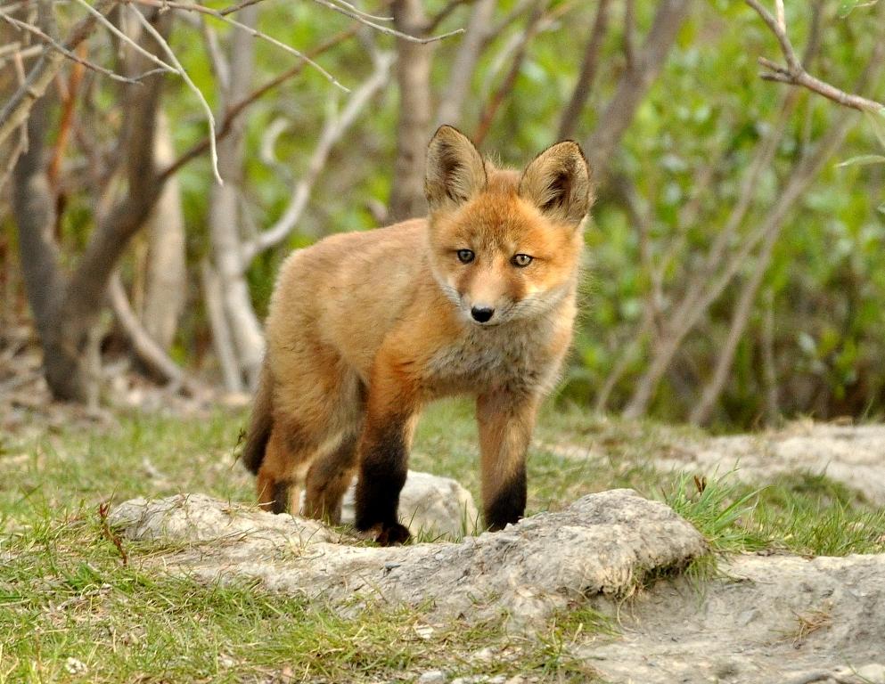 Red Fox –  Pup | Atigun Pass, Alaska | June, 2011